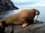 hewan berbahaya singa laut