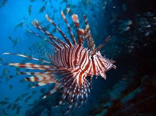 lion-fish-ikan-laut-beracun